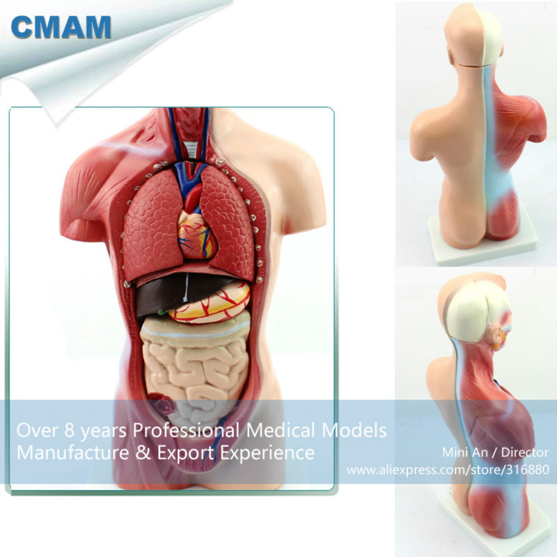 12022 CMAM-TORSO11 26cm Mini-Torso, 15 part, Human Anatomy Model for Medical Science,Best Gift for Doctor human anatomy torso teaching medical human torso model part 15 28cm gasencx 0019