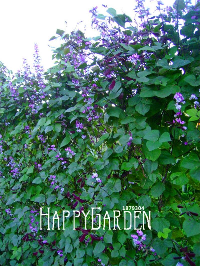 100 Pcs New Fresh Seeds Majestic Hyacinth Vine Certified Organic Purple Flowers Fast Growing