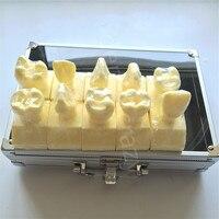 Dental Model ental Cavity Preparation Model #7009 01 Teeth Model