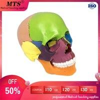 Detachable Human colour skull model 15 parts head skeleton anatomical model for medical teaching art sculpture and dental model