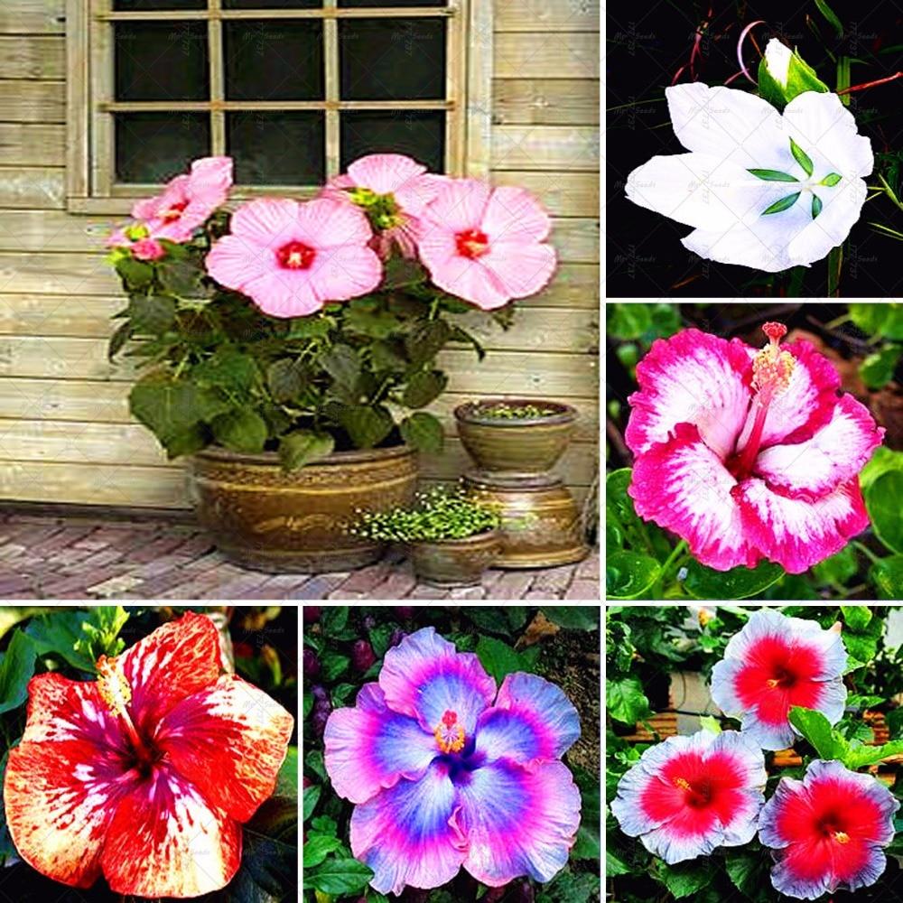 Les Hibiscus De Jardin | Fleurs Sur Arbre Hibiscus Dans Jardin ...
