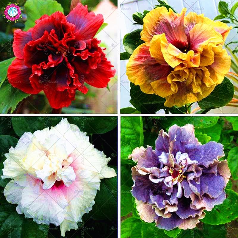 11 11 100pcs Double Petals Giant Hibiscus Plant  Rare Colour Bonsai Flower Plant Chinese Flower Perennial Garden Flower Plants