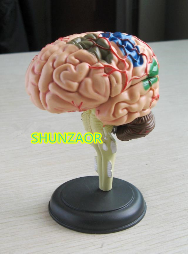 4D anatomical human brain model 9.3*6.1*4.8cm can for medical use with 32 parts