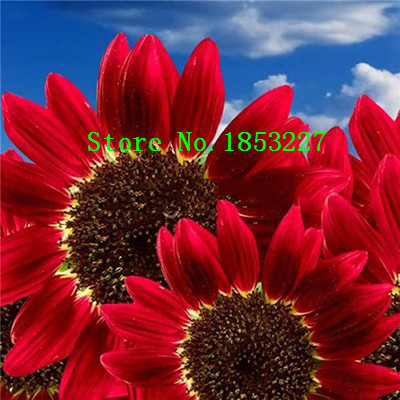 50 pcs Helianthus Red Sunflower Seeds Red Sun Fortune Bloom Garden Heirloom Seeds Bonsai Plants Seeds OM