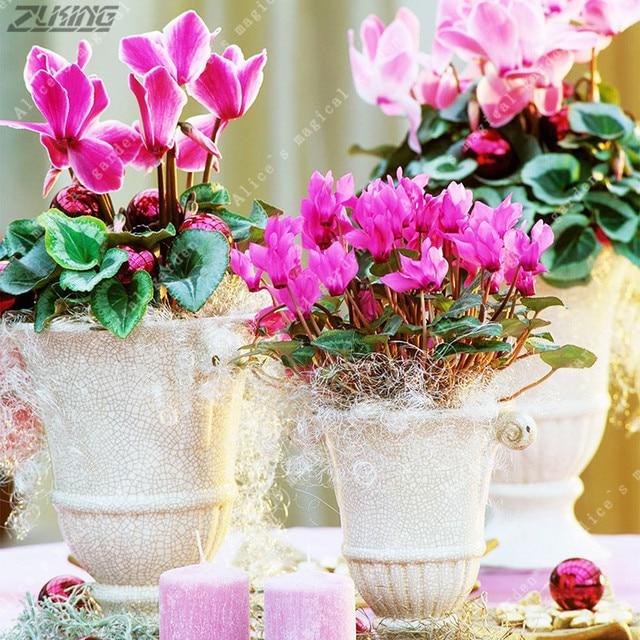 ZLKING 10pcs Green Cyclamen Persicum Seeds Blooming Bonsai ...