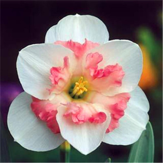 Narcissus Daffodil Flower Seeds (1000 Pieces)