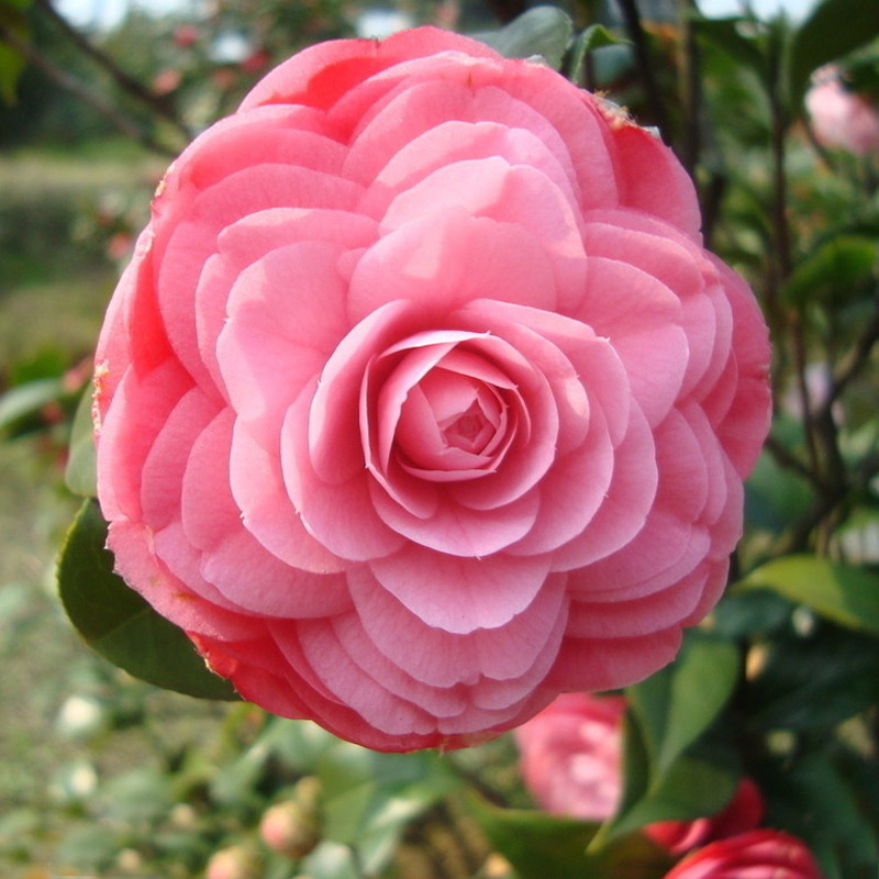 Aliexpresscom Buy Beautiful Pink Camellia Seeds Potted Plants - Common garden flowers