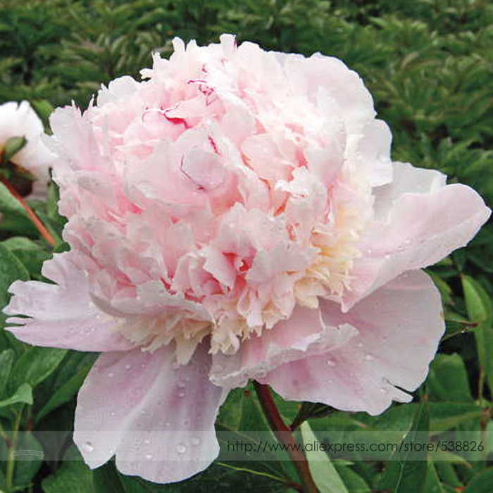 Online Rare Many Petaled Bowl Shaped Pink Peony Flower Seeds Professional Pack 5 Light Fragrant Garden Flowers Nf803 Aliexpress