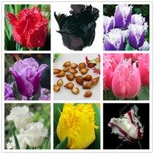 True tulip bulbs,tulip flower,(not tulip seeds),Flower bulbs symbolizes love,tulipanes flower plant for garden plants -2 bulbs