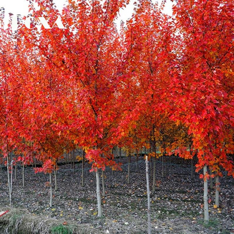 80pcs Japanese Maple Tree Acer Palmatum Red Tree Seeds In Bonsai