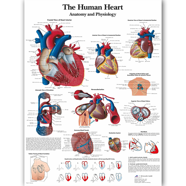 Human Heart Chart Anatomy Physiology Poster Map Canvas Painting Wall