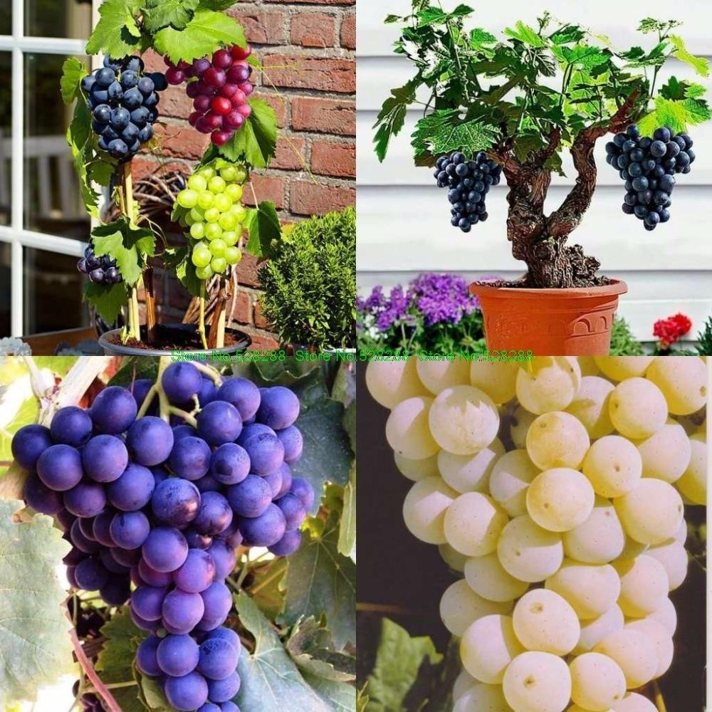 New Arrival Grape Seed 30 Pcs/pack Rare Species Bonsai Fruit Grape Seeds Home Garden