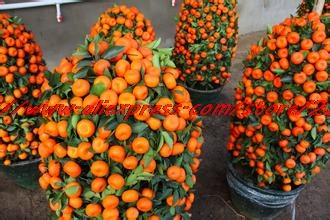 50seeds/Bag Top Selling High Quality Bonsai Sweet Orange Tree Seeds Organic Fruit Tree Seeds Free Shipping For Home Garden ...