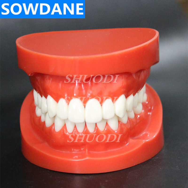 1:1 Dental Orthodontic Model Standard Adult Treatment Tooth with 28 tooth Study