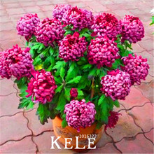Big Sale!10 Pieces/lot chrysanthemum seeds, Rare Flower seeds garden potted plants, softcover bonsai balcony room,#K4S0XP