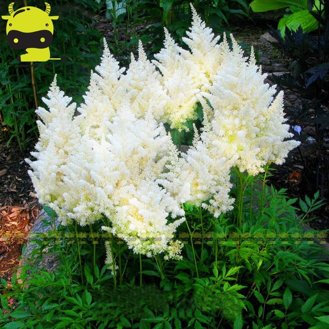 Fluffy snow white astilbe chinensis seeds 100 seedspack chinese fluffy snow white astilbe chinensis seeds 100 seedspack chinese astilbe flower bonsai plants shade loving perennial in bonsai from home garden on mightylinksfo