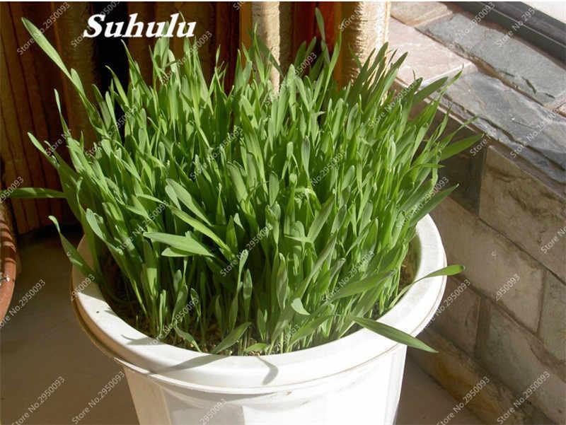 Organic Wheat Grass Plant Outdoor Bonsai Potted Cat Grass Edible Natural Pollution Garden Decor -Free Cat Grass- 200 pcs/ bag