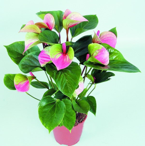 Rare Flower Seeds Pinkgreen Anthurium Andraeanu Seeds Balcony