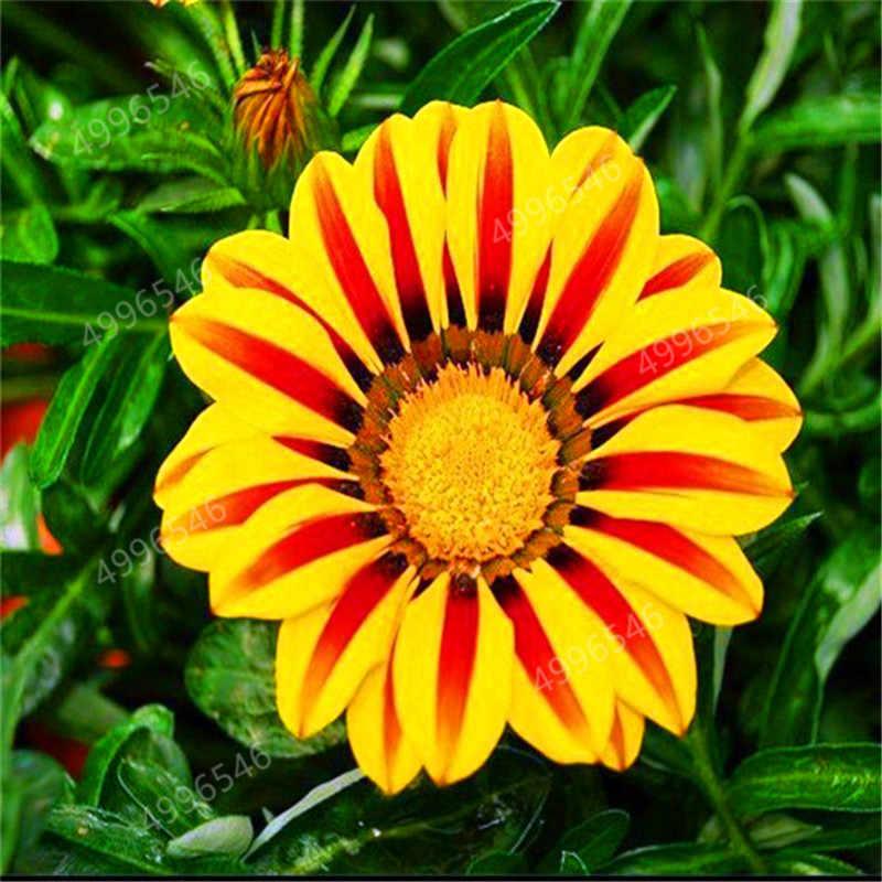 100 PCS Gazania Rigens Crisântemo bonsai plantas Raras Flores Varanda bonsai Para Casa Jardim Bonsai Frete grátis
