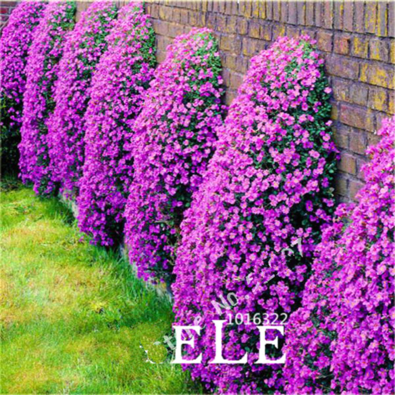100pcs aubrieta seeds rare rock cress flower seeds diy plant bonsai seed perennial plants for home garden sementes and rose gift - Rock Home Gardens