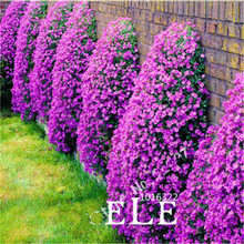 Climbing Flower 100 Aubrieta Seeds Cascade Purple Flowers Seed, Superb Perennial Ground Cover Blooming Plants For Home Garden