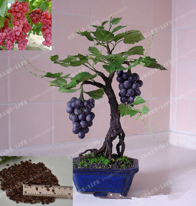50pcs Rare Miniature Grape Vine Seeds Indoor Plant Vitis: 7 uncommon indoor plants