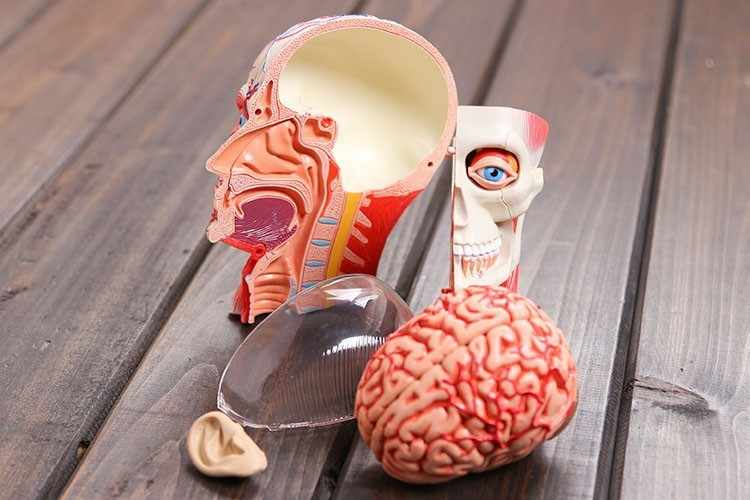 free shipping 3d head model head muscle and nerve system assembled Human  Anatomy dimensional model