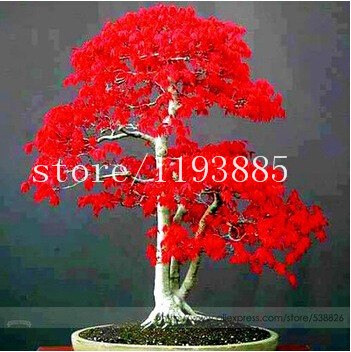 50pcs/bag red maple tree seeds,bonsai seeds, tree seeds ,high 60cm potted plant for DIY home garden