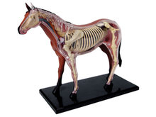 Assembled Horse Anatomy Model Medical Anatomic Animal Model Puzzels for Children Skeleton Educational Science Toys 31 Parts(China)