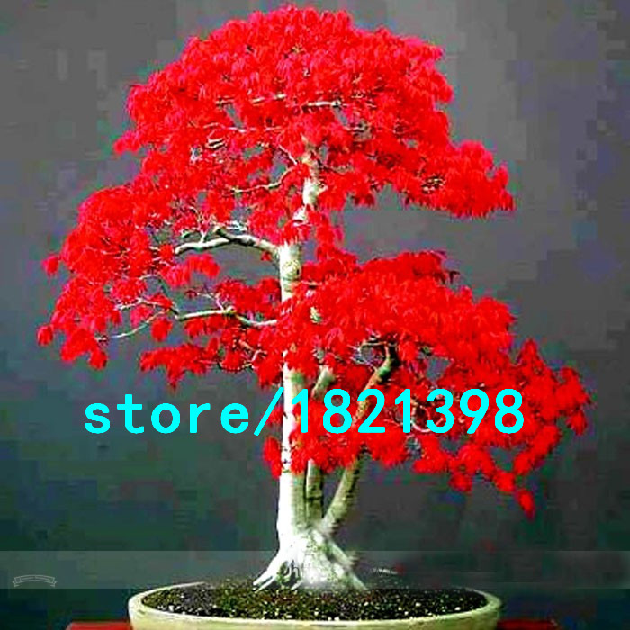 100-True-Japanese-Red-Maple-Bonsai-Tree-Cheap-Seeds-Professional-Pack-Very-Beautiful-Indoor-Tree-30