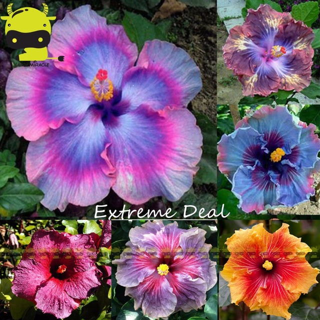 Rare mix couleurs g ant hibiscus graines en pot plante for Plante a fleur vivace