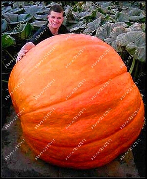 5 шт. гигантские тыквенные растения Хэллоуин Тыква органические овощи питательные-богатая еда NON-GMO съедобные растения для домашнего сада