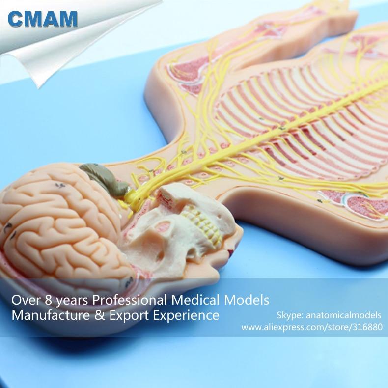 CMAM-BRAIN19 Nervous System Model, Human Simulator(Medical Model, Anatomical Model) кружка anatomical разные дизайны nervous system