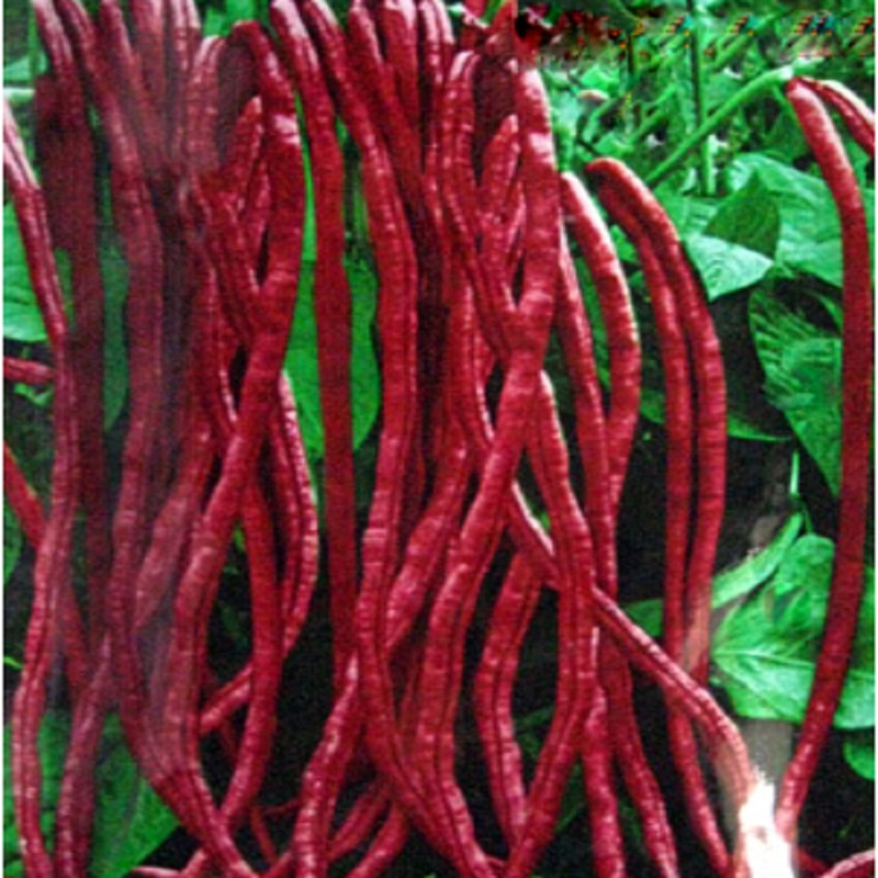 red bean seeds for home garden free shipping outdoor plant 10 seeds