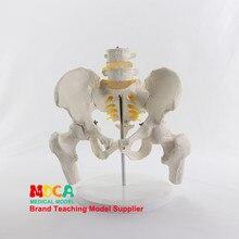 Ceinture pelvienne simulée de vertèbres lombaires, deux vertèbres lombaires avec modèle de fémur colonne vertébrale bassin médical enseignement médical MGP005