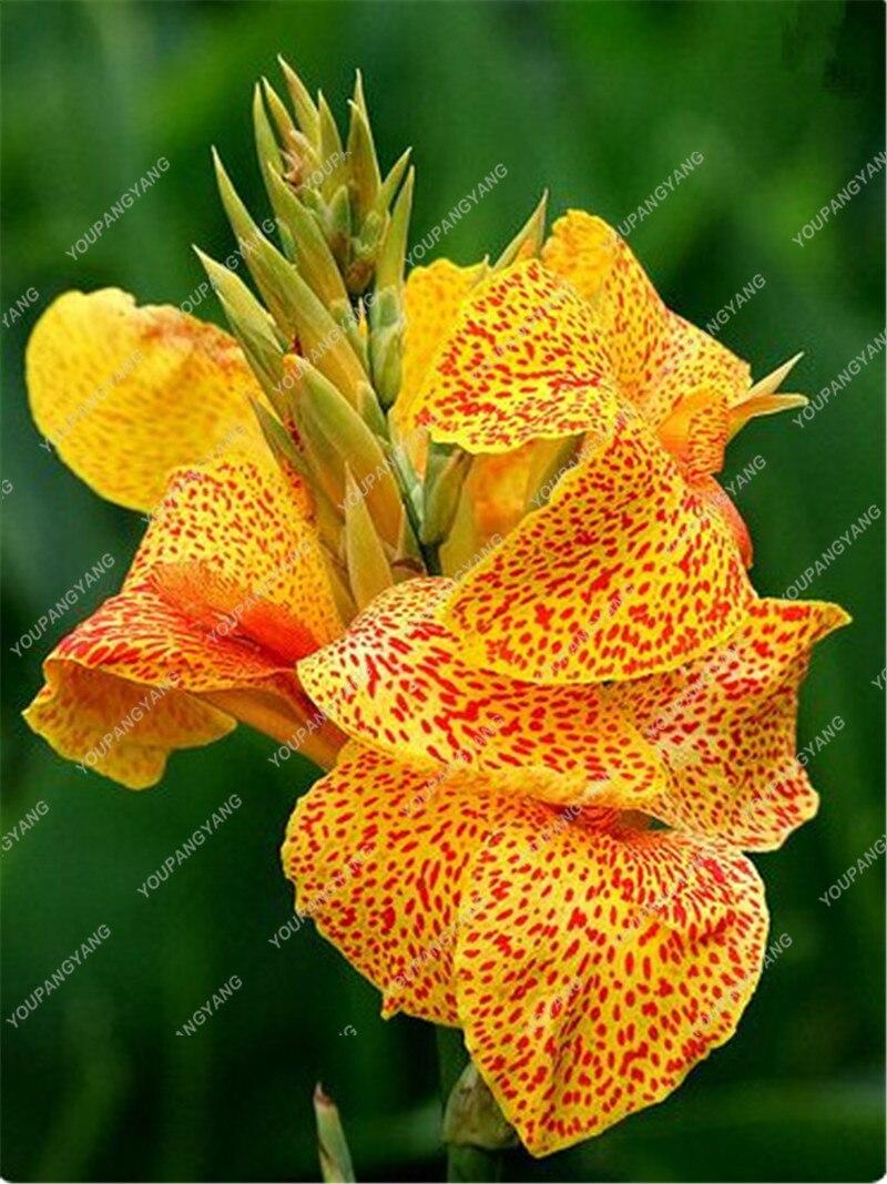 50pcs True Canna Lily Plants Bonsai Flower Plants Potted Bonsai