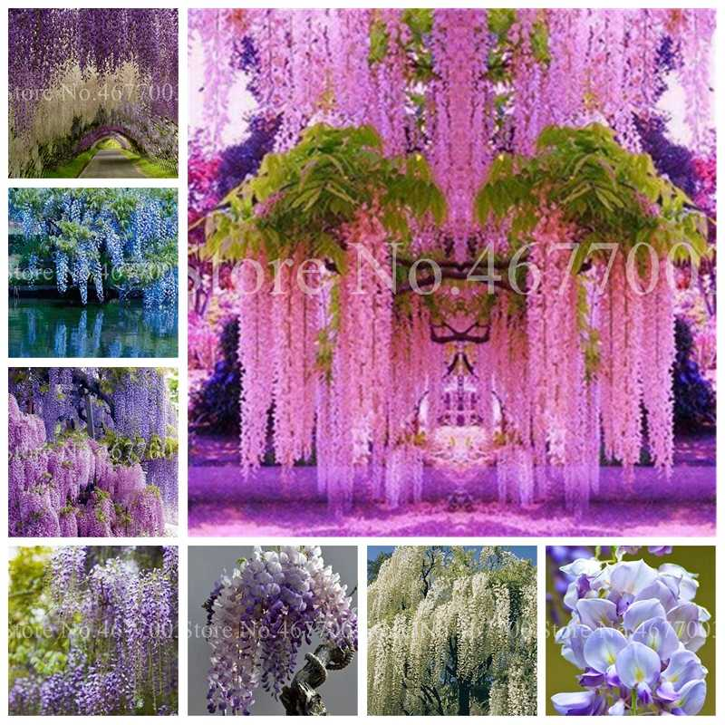 10Pcs Rare Wisteria bonsai Mixed Color Flower flores Bonsai Wisteria Tree plant Ornamental Plant Beautiful Plant For Home Garden