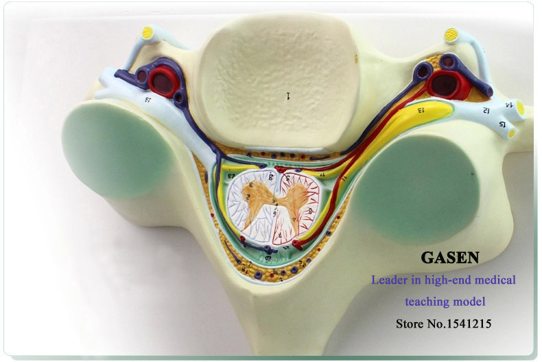 FIFTH CERVICAL SPINAL CORD SPINAL NERVE ENLARGEMENT ANATOMY OF THE SPINAL CORD TRANSECTION CERVICAL VERTEBRA MODEL GASEN-GL047 fifth harmony acapulco