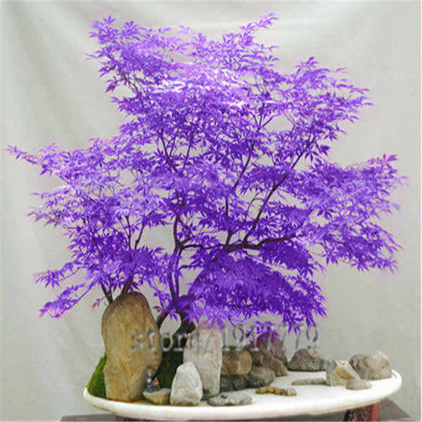 Потери Акция! 10 шт. Редкие Фиолетовый синий Призрак ЯПОНСКИЙ клен дерево, acer Palatum бонсай цветок дерево завод для дома и сада