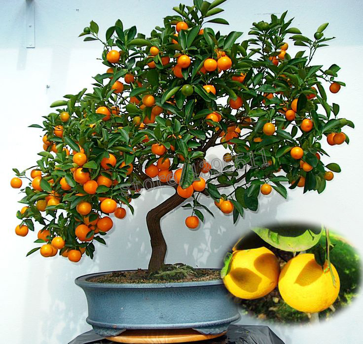 popular kumquat treesbuy cheap kumquat trees lots from china, Beautiful flower
