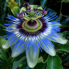 New Rare 10X SEED Passion Fruit Purple Passiflora Edulis Seeds Vegetables Cooking Salad High Quality