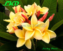 Plumeria rubra Plants Rooted 7-15 inch Frangipani Flower Daisy Bonsai Tree Plumeria Plants no168-moon-light