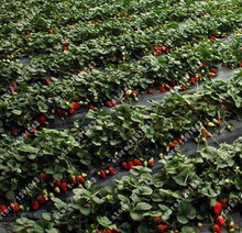 300Red Strawberry Seeds, Easy Grow 90 days Harvest Organic Fruit Seeds,a lot of promotions red strawberry seed(China)
