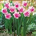 100 pcs flor narciso, narciso sementes (não bulbos de narciso) bonsai flor sementes de plantas aquáticas pétalas duplas Narciso planta de jardim