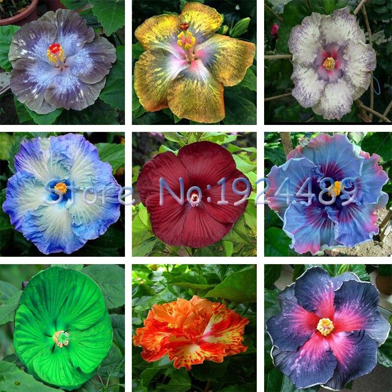 achetez en gros rare hibiscus en ligne à des grossistes rare