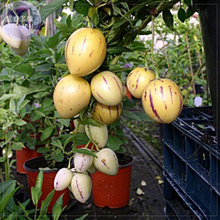 BELLFARM Solanum Muricatum Sweet Cucumber Seeds, Professional Pack, pepino dulce melon pear edible fruits BD078H