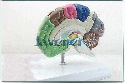 Human Anatomical Half of Brain Function Anatomy Medical Model Professional