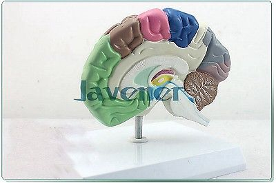 Human Anatomical Half of Brain Function Anatomy Medical Model Professional 4d anatomical human brain model anatomy medical teaching tool toy statues sculptures medical school use 7 2 6 10cm