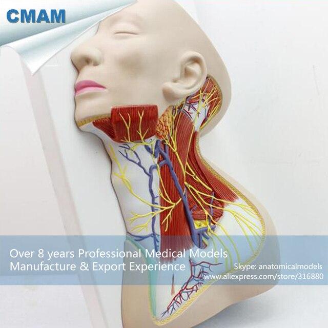 12418 CMAM BRAIN20 Leben Größe Nerven der Hals Region Medizinische ...