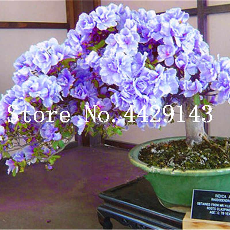 100 cái/túi Nhật Bản đỗ quyên Cây Cảnh, đỗ quyên đỗ quyên, đỗ quyên hoa Cây Cảnh cây cây DIY nhà máy nhà vườn Dễ Dàng để Phát Triển